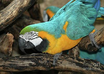 Mccaw Parrot Poster by Sabrina L Ryan