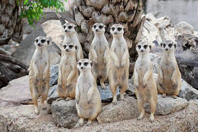 Meerkat Family Are Sunbathing Poster by Anek Suwannaphoom