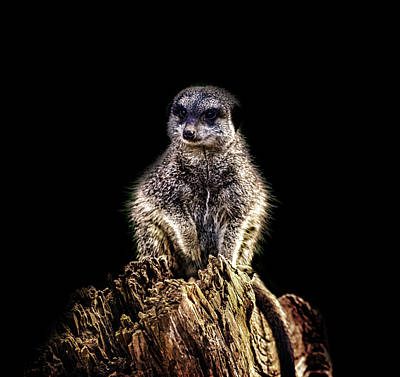 Meerkat Lookout Poster by Martin Newman