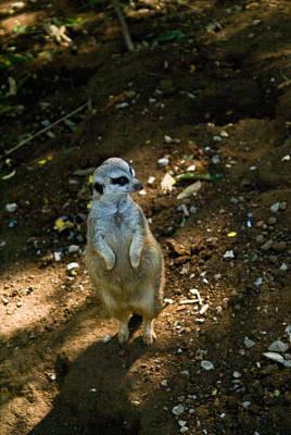 Meerkat Portrait 2 Poster by Douglas Barnett