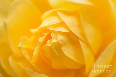 Mellow Yellow Rose Poster by Ana V Ramirez