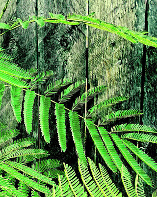 Mimosa Tree  II Poster by Tony Grider