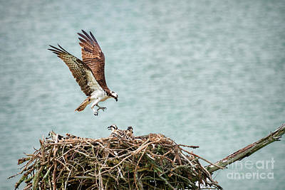 Mom Osprey Returning To Nest Poster by Dan Friend