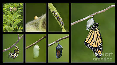 Monarch Butterfly Life Cycle - D003995 Poster by Daniel Dempster