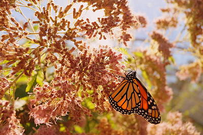 Monarch On Milkweed Poster by Beth Collins