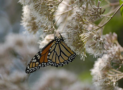 Monarch Pink Poster by Randy Bodkins