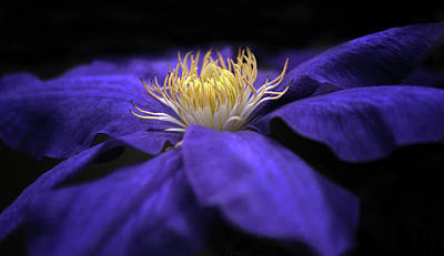 Moonlight Clematis Poster by Jessica Jenney