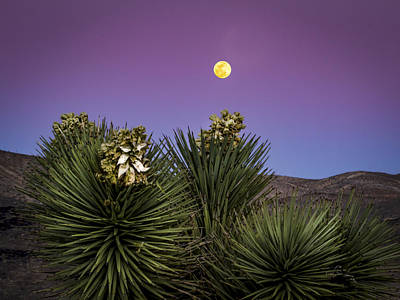 Moonrise Over Joshua Tree Poster by Jean Noren