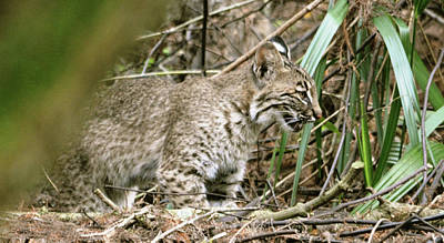Mother Bobcat Poster by Sally Sperry