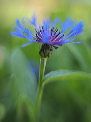 Mountain Bluet Flower Poster by Don Zawadiwsky