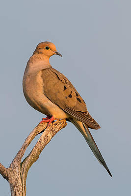Mourning Dove Poster by Bill Wakeley