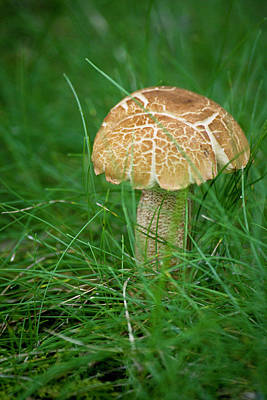 Mushroom In The Grass Poster by Teresa Mucha