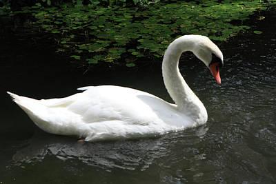 Mute Swan Poster by Aidan Moran