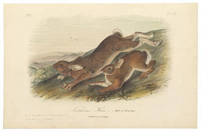 Northern Hare Poster by John James Audubon