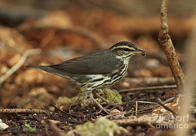 Northern Waterthrush In Cuba Poster by Neil Bowman/FLPA