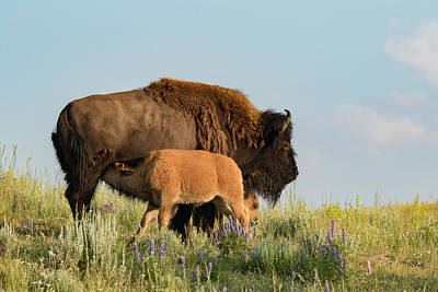 Nursing Bison Family Poster by Andrew Wells