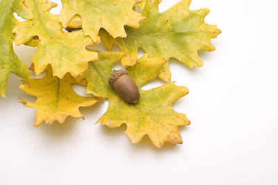 Oak Leaves And Acorns Poster by Utah Images