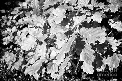 Oak Leaves Starting To Turn In Autumn Sunshine Poster by Joe Fox