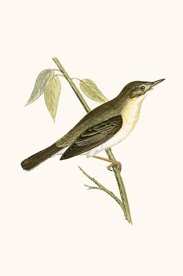 Olivaceous Warbler Poster by English School
