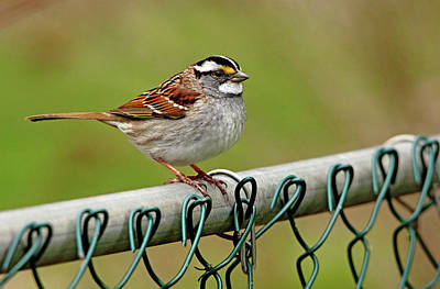 On The Fence Poster by Debbie Oppermann