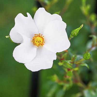 One Beautiful Cherokee Rose Poster by Vishwanath Bhat