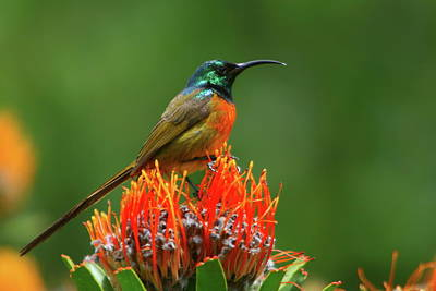 Orange-breasted Sunbird On Protea Blossom Poster by Bruce J Robinson