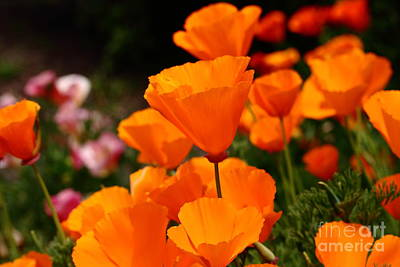 Orange California Poppy . 7d14755 Poster by Wingsdomain Art and Photography