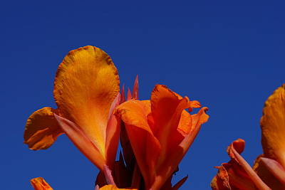 Orange Canna Poster by Carrie Goeringer