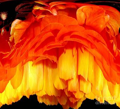 Orange Ranunculus Polar Coordinate Poster by Rose Santuci-Sofranko