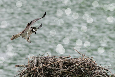 Osprey Coming Into Nest With Food In Talons Poster by Dan Friend