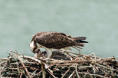 Osprey Feeding Fish To Her Baby Poster by Dan Friend