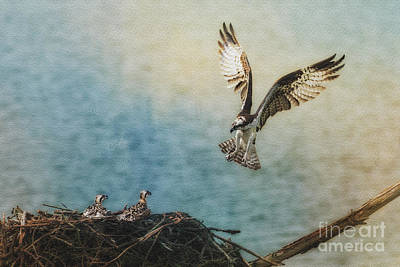 Osprey Flying Back To Nest Poster by Dan Friend