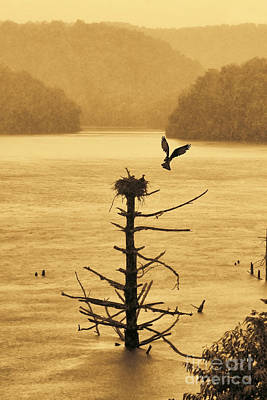 Osprey Flying Up To Nest With Food Nest On Old Dead Tree In Water Poster by Dan Friend