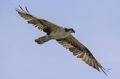 Osprey On The Hunt Poster by Loree Johnson