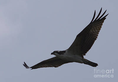 Osprey On The Tygart Poster by Randy Bodkins