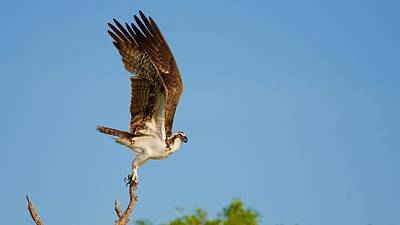 Osprey Take Off Poster by Mark Reinnoldt
