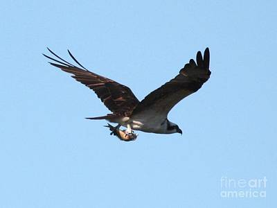 Osprey With Fish Poster by Carol Groenen