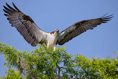 Osprey With Wide-open Wings Poster by Andres Leon