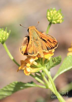 Ottoe Skipper Butterfly On Yellow Flowers Poster by Carol Groenen