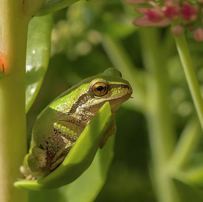 Pacific Tree Frog Poster by Jean Noren