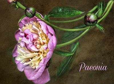 Paeonia Greeting Card Poster by CJ Anderson