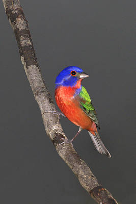 Painted Bunting Poster by John Absher
