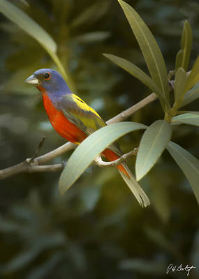 Painted Bunting Male Poster by Phill Doherty
