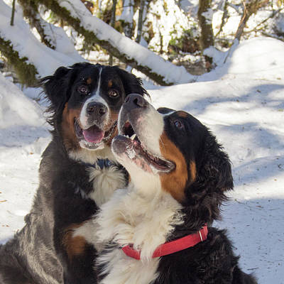 Pair Of Bernese Mt Dogs Poster by Jean Noren