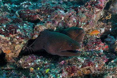 Pair Of Giant Moray Eels In Hole Poster by Mathieu Meur