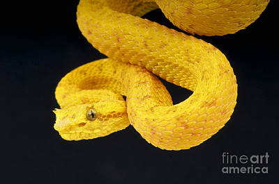 Palm Viper Poster by Reptiles4all