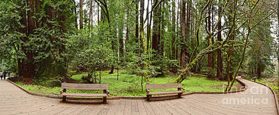 Panorama Of Muir Woods National Monument Boardwalk - Marin County California Poster by Silvio Ligutti