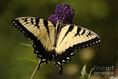 Papilio Yellow Poster by Randy Bodkins