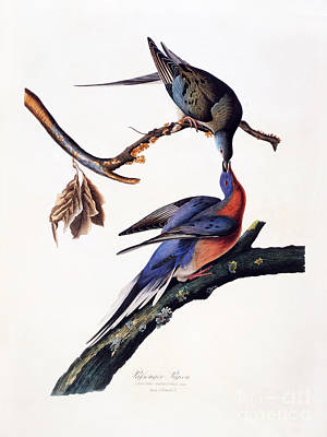 Passenger Pigeon Poster by MotionAge Designs