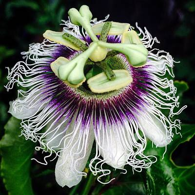 Passiflora Poster by Eric Suchman